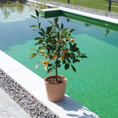 Schwimmteich mit Orangenbaum eingesäumt mit Kiesbett