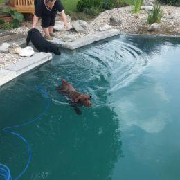 Hunde springen in den Schwimmteich