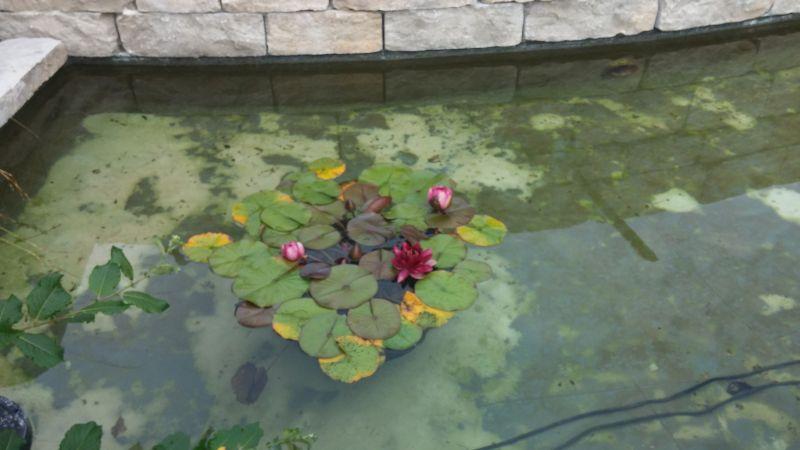 Seerose im Gartenteich